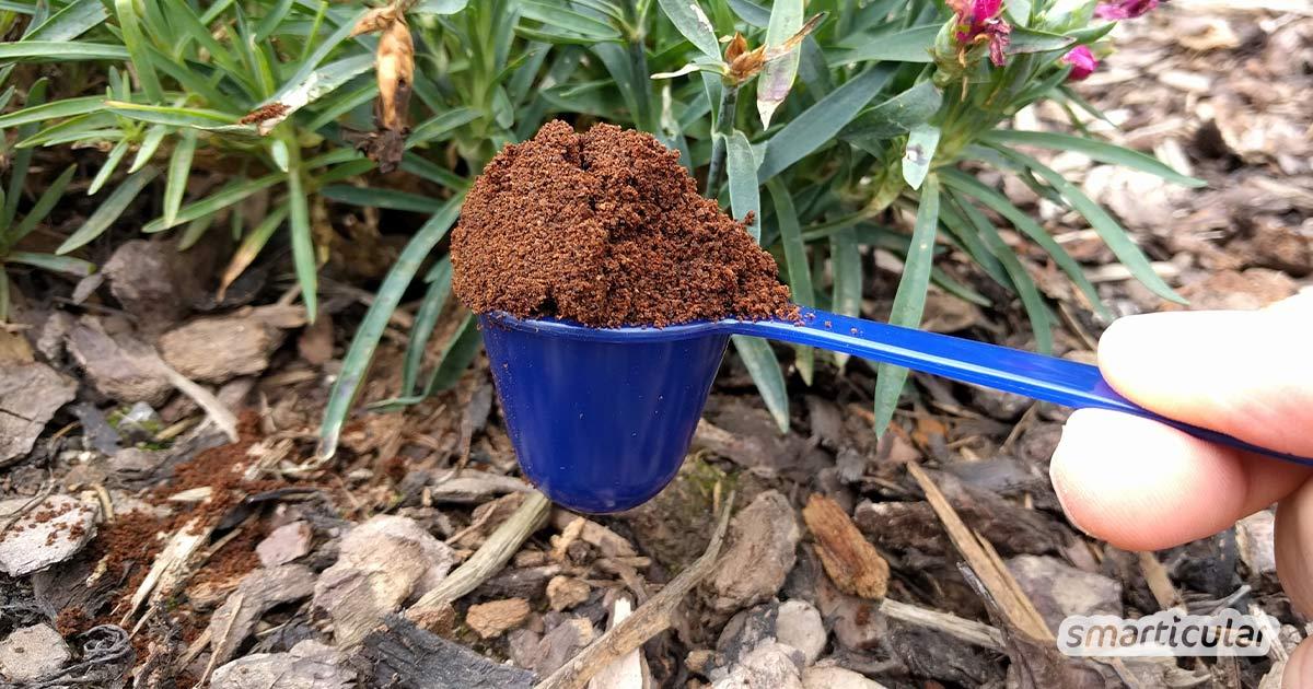 Kaffeesatz enthält wertvolle Nährstoffe über die sich deine Pflanzen freuen. Daher, nicht wegwerfen sondern als Dünger verwenden. Wir zeigen dir wie!