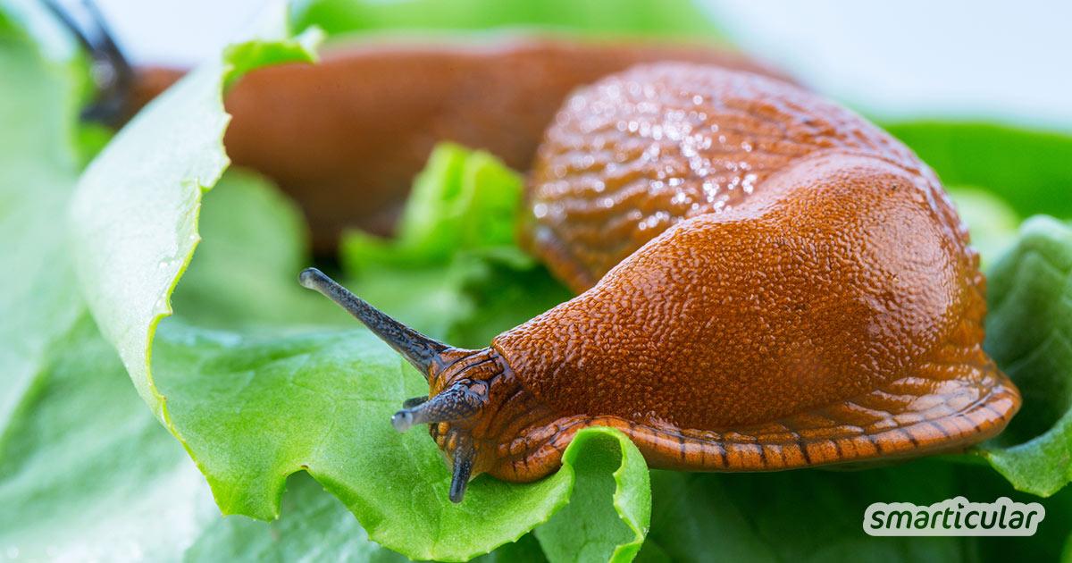 Um Schnecken zu bekämpfen, die das Gemüse im Garten anfressen, ist kein Gift notwendig. Schnecken lassen sich mit Mitteln wie Kaffeesatz, Schneckenzäunen oder natürlichen Feinden vertreiben.