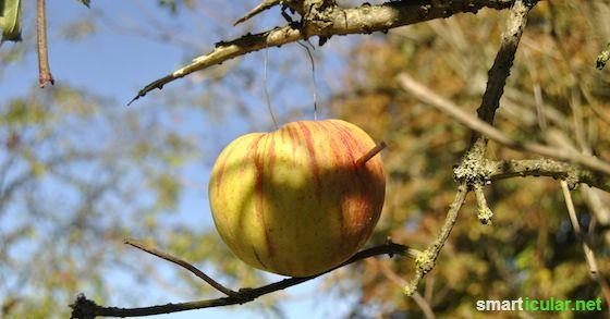 Der Apfel – eine vielseitig verwendbare Frucht