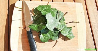 From ivy leaves you can easily create a detergent for both dishes and laundry. Biological, effective and almost free!
