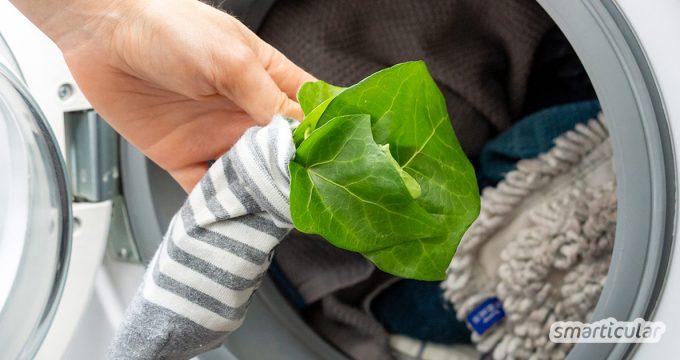 Durch das Waschen mit Efeu wird die Umwelt nicht belastet und die Wäsche wird schonend, gründlich und völlig kostenlos gereinigt. Waschmittel direkt aus der Natur!