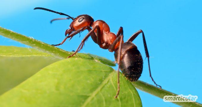Machen sich Ameisen in der Küche, auf dem Balkon oder der Terrasse breit? Mit diesen natürlichen Mitteln vertreibst du sie und hältst du sie fern.