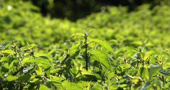 Ärgerst du dich über wild wuchernde Brennnesseln in deinem Garten? Mach was nützliches draus: Natürlichen Dünger für deine Pflanzen. Wir zeigen dir wie!
