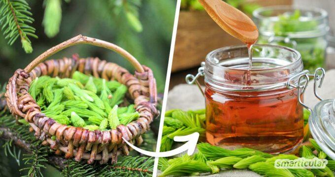 Tannenwipfel enthalten zahlreiche heilsame Wirkstoffe - mach dir die Kraft des Waldes mit diesen Rezepten für Tannenspitzenhonig, Tannenspitzen-Tee und Co. zunutze!