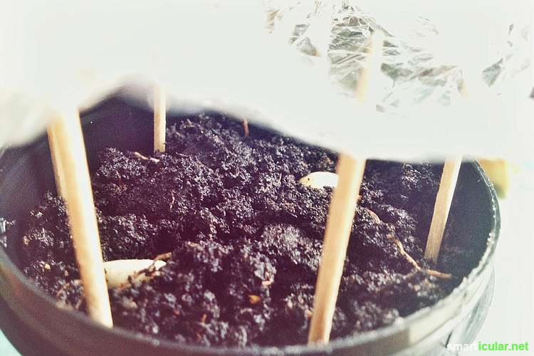 Kaffeepflanzen In Der Wohnung Ziehen - So Klappt's Jasmin In Blumentopf Zuchten Wichtige Tipps