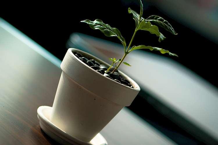 Liebst du Zimmerpflanzen und bist gleichzeitig ein Kaffee-Liebhaber? Versuch doch mal, deinen eigenen Kaffee zu züchten. Hier erfährst du wie es gehen kann!