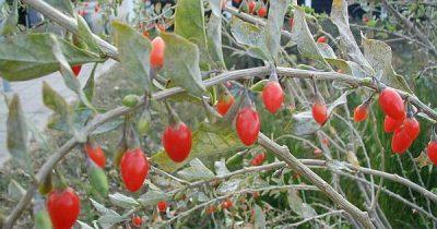 Die Goji-Beere aus dem ist nährstoffhaltig und wird als Superfood immer beliebert. Wusstest du, dass du sie auch lokal anpflanzen und ernten kannst?