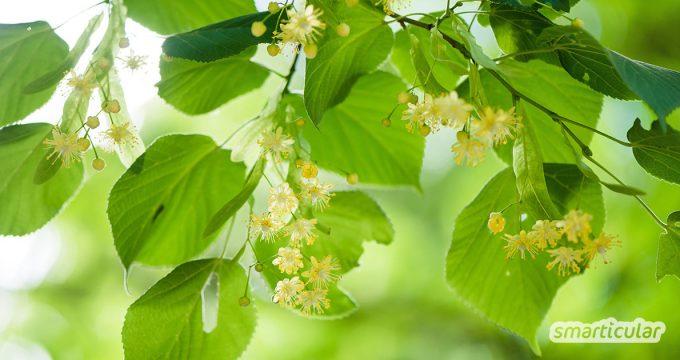Die Linde blüht bald überall: schön anzuschauen und wohlriechend. Ihre Blüten, Blätter, Samen und die Rinde können aber noch viel mehr! Finde heraus was!