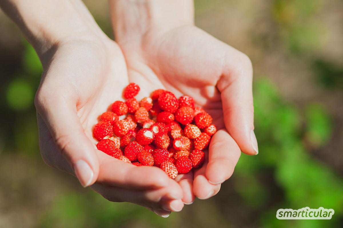 Im Juli wachsen zahlreiche Wildkräuter und auch Wildobst kann geerntet und verarbeitet werden. Hier erfährst du, welche Wildkräuter du jetzt sammeln kannst.