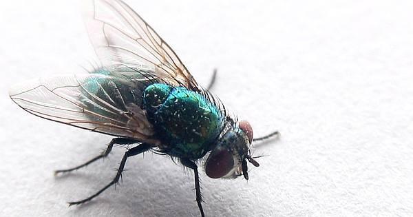 8 mittel gegen fliegen und 3 selbstgebaute fliegenfallen. Black Bedroom Furniture Sets. Home Design Ideas