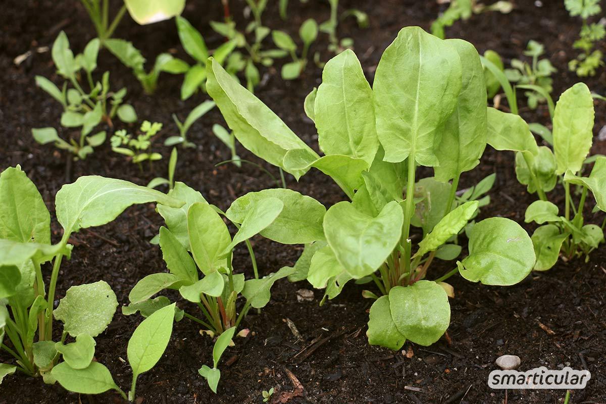 Es gibt viele wertvolle Wildkräuter. Zu meinen Lieblingspflanzen gehört der Sauerampfer. Erfahre hier, warum auch du ihn pflücken und nutzen solltest.