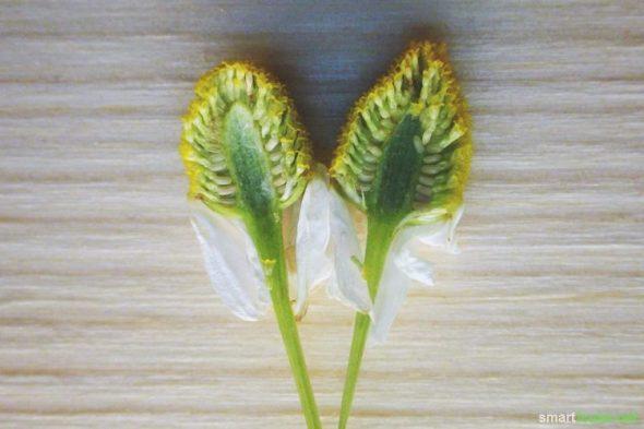 Echte Kamille (Matricaria chamomilla) - erkennen, sammeln, vielseitig und leicht für deine Gesundheit anwenden. z.B. als Tee, in einer Salbe oder Tinktur!