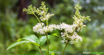 Mädesüß ist eine vielseitige traditionelle Heilpflanze aber auch in der Küche lecker einsetzbar. Die wichtigsten Tipps zum Anbau, Sammeln und Zubereiten!