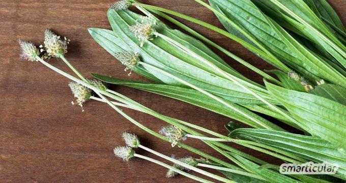 Spitzwegerich ist fast überall zu finden! Die heilkräftige Pflanze eignet sich für die Hausapotheke ebenso gut wie als gesunde Zutat für die Küche.
