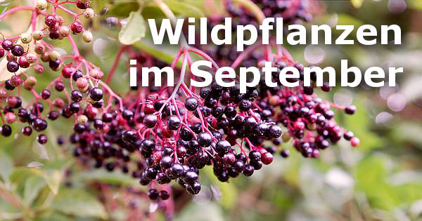 Auch im September gibt es noch viel in der freien Natur zu ernten! Welche nahrhaften Kräuter, Wildfrüchte und Wurzeln auf dich warten erfährst du hier.