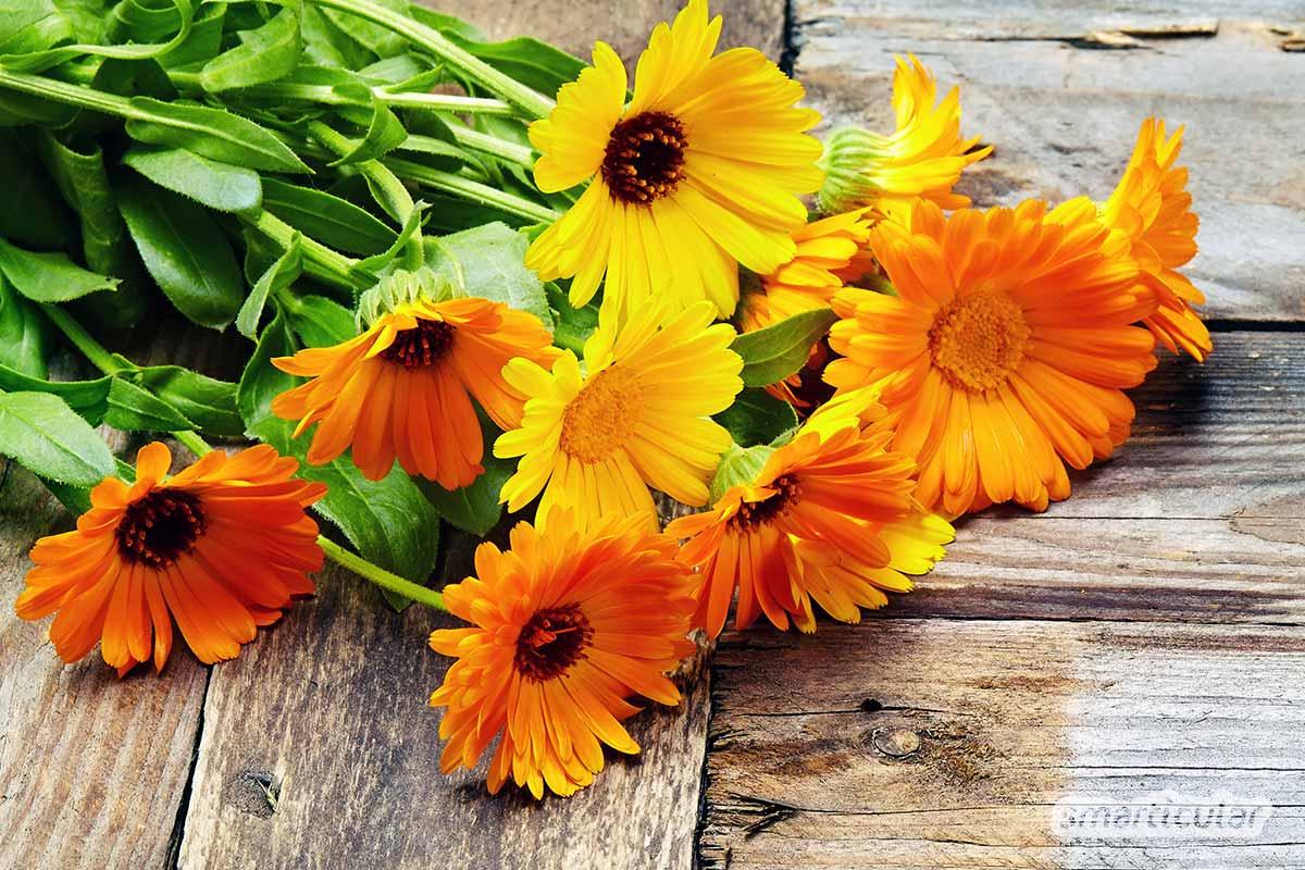 Eine Ringelblumensalbe eignet sich hervorragend als Wund- und Heilsalbe. Sie lässt sich mit einem Ringelblumenextrakt ganz einfach selber machen!