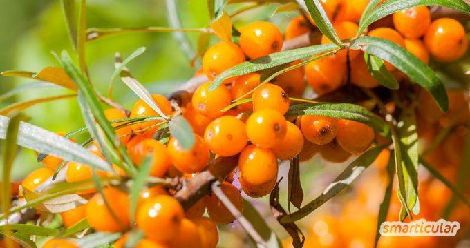Sanddorn ist reich an Vitamin C und gesund. Die leckeren, regionalen Beeren lassen für Saft, Marmelade und andere Rezepte verwenden.