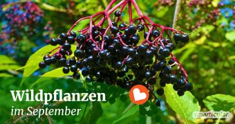 Im September können zahlreiche Wildkräuter und Früchte geerntet werden. Hier erfährst du, wo du sie findest und wie du sie verarbeiten kannst.