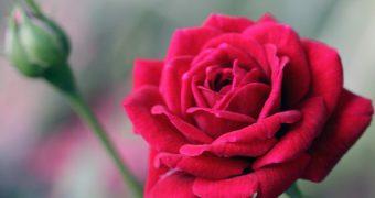 Rosenöl ist eines der wertvollsten ätherischen Öle. Den angenehmen Duft und positiven Eigenschaften kannst du vielseitig nutzen, hier die top Anwendungen