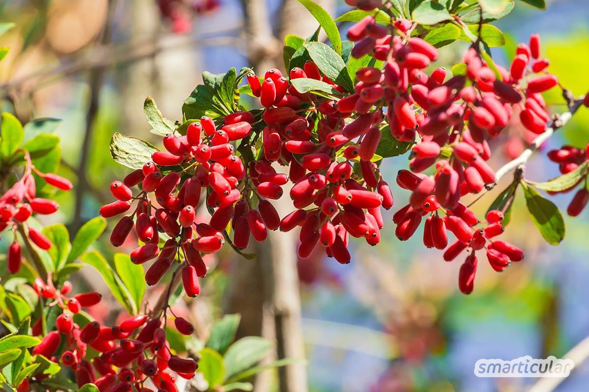 Im Oktober beschenkt uns die Natur besonders reich mit Wildpflanzen! Hier erfährst du, welche Wildfrüchte, Samen und Wurzeln jetzt gesammelt werden können.
