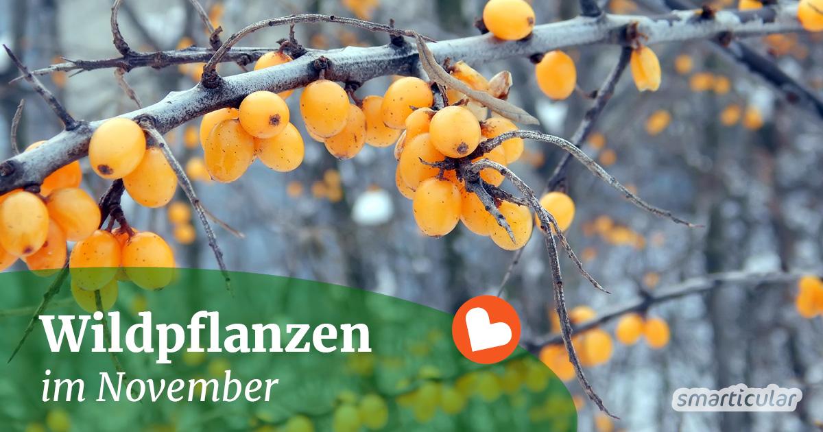 Im November lassen sich noch einige Wildkräuter und Früchte sammeln und ernten. Gleichzeitig beginnt jetzt die Wurzelsaison.