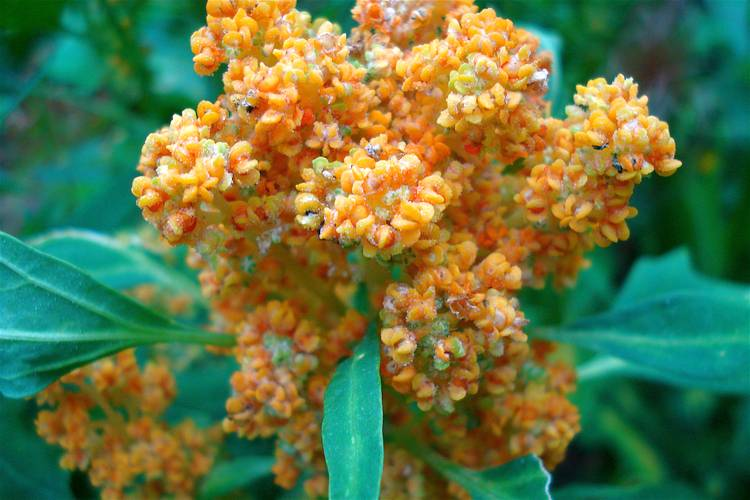 Quinoa ist ein Pseudogetreide das zu den Gänsefußgewächsen zählt. Reich an Eiweiß, Mineralien und Vitaminen, kann es in der Enährung gute Dienste leisten