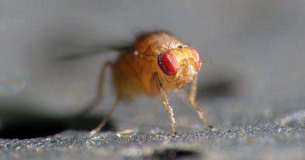 Fruchtfliegen gehen nicht nur auf die Nerven, sie beschleunigen auch das Verderben von Lebensmitteln und übertragen Krankheitserreger. Hier ist die Lösung.