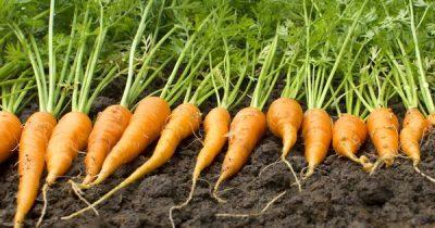Karotten sind nicht nur gut für die Augen, auch die Haut und dein Immunsystem werden es dir danken, wenn du ihnen etwas öfter Beachtung schenkst.