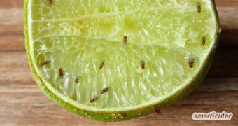 Fruchtfliegen zu bekämpfen kann mühsam sein. Mit einer selbst gebauten Falle wirst du die kleinen Plagegeister umweltfreundlich und preiswert wieder los.