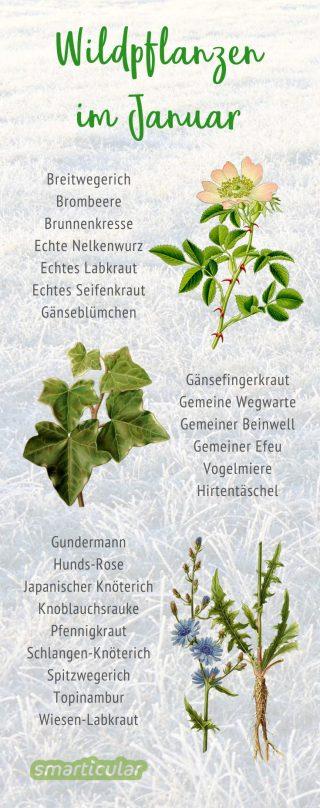 Im Januar findet man seltener essbare Wildpflanzen. Mit etwas Glück und dem richtigen Gespür entdeckst du an wärmeren Tagen aber einige zarte Pflänzchen.