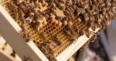 Das Bienenprodukt Propolis wird seit Jahrtausenden in verschiedenen Kulturen eingesetzt. So kannst auch du es für deine Gesundheit nutzen.