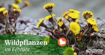 Im Februar sind essbare Wildpflanzen noch selten zu finden. An wärmeren Tagen lassen sich jedoch einige zarte Pflänzchen entdecken.