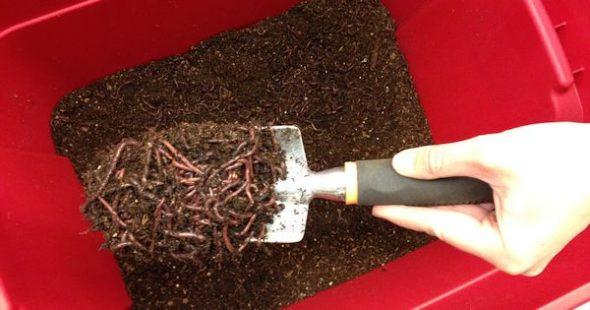 In einer Wurmkiste verwandeln Regenwürmer biologische Küchenabfälle in gesunde Erde. Das funktioniert sogar auf kleinstem Raum in Großstadtwohnungen.