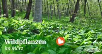 Die Natur erwacht und jeden Tag finden wir neue Wildpflanzen. Finde heraus, welche Wildkräuter, Bäume und Sträucher du im März sammeln kannst.