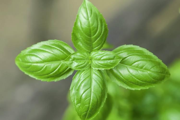 Nicht nur lecker, auch unglaublich gesund. Basilikum stärkt das Immunsystem, hemmt Entzündungen und schützt das Herz. So nutzt du diese wunderbare Pflanze