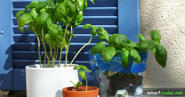 Basilikum ist ein gesundes Kraut, das auch auf der Fensterbank gedeiht. Leider gehen viele Pflänzchen viel zu schnell ein! Mit diesen Tricks halten sie ewig
