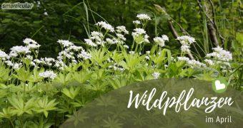 Liebhaber der Wildkräuter freuen sich auf den Frühling wie kleine Kinder auf den Weihnachtsmann. Finde heraus welche Pflanzen du jetzt nutzen kannst!