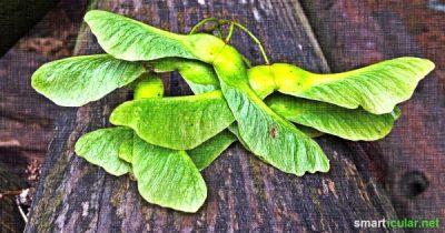 Nicht nur der Sirup und die Blätter des Ahorns sind gesund und schmackhaft. Auch mit seinen Früchten lassen sich Snacks und andere Leckereien zaubern!