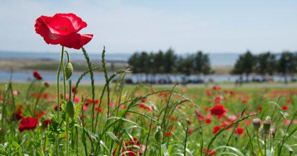 Die Schönheit der Mohnblüten ist schnell vergänglich. Wenn du die leuchten roten Blätter nutzen möchtest, musst du dich beeilen!