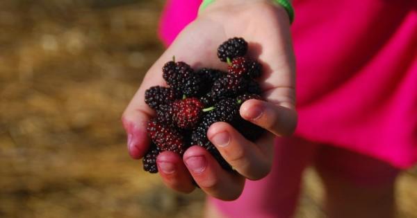 Auch wenn die Maulbeere heutzutage kaum noch bei uns angebaut wird, kannst du sie wildwachsend finden, ernten und für deine Gesundheit nutzen.
