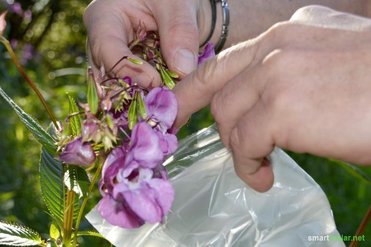 Häufig als Unkraut verschrien, ist das Himalaya-Springkraut in Wahrheit eine nützliche Pflanze, nicht nur für Bienen. So bereichert es deinen Speiseplan!