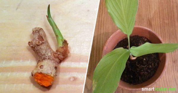 Heilsames Kurkuma selbst anbauen und vermehren