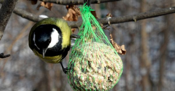 Meisenknödel und Futterglocke: So stellst du ein nahrhaftes Winterfutter für heimische Singvögel her.
