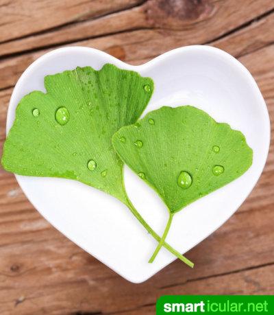Der Ginkgo-Baum ist ein Baum mit Zukunft, denn er lässt sich als Heilpflanze, Nahrungsmittel und sogar zur Luftverbesserung nutzen.