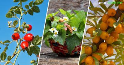 Es müssen nicht immer Orangen sein - regionale Wildobstsorten Wildkräuter gehören zu den besten Vitamin-C-Lieferanten und wachsen kostenlos direkt vor der Haustür.