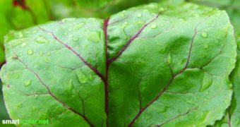 Rote-Bete-Blätter sind gesund und schmecken genauso gut wie die Knolle! Als Ersatz für Mangold, in Smoothies und Suppen - viel zu schade zum Wegwerfen.