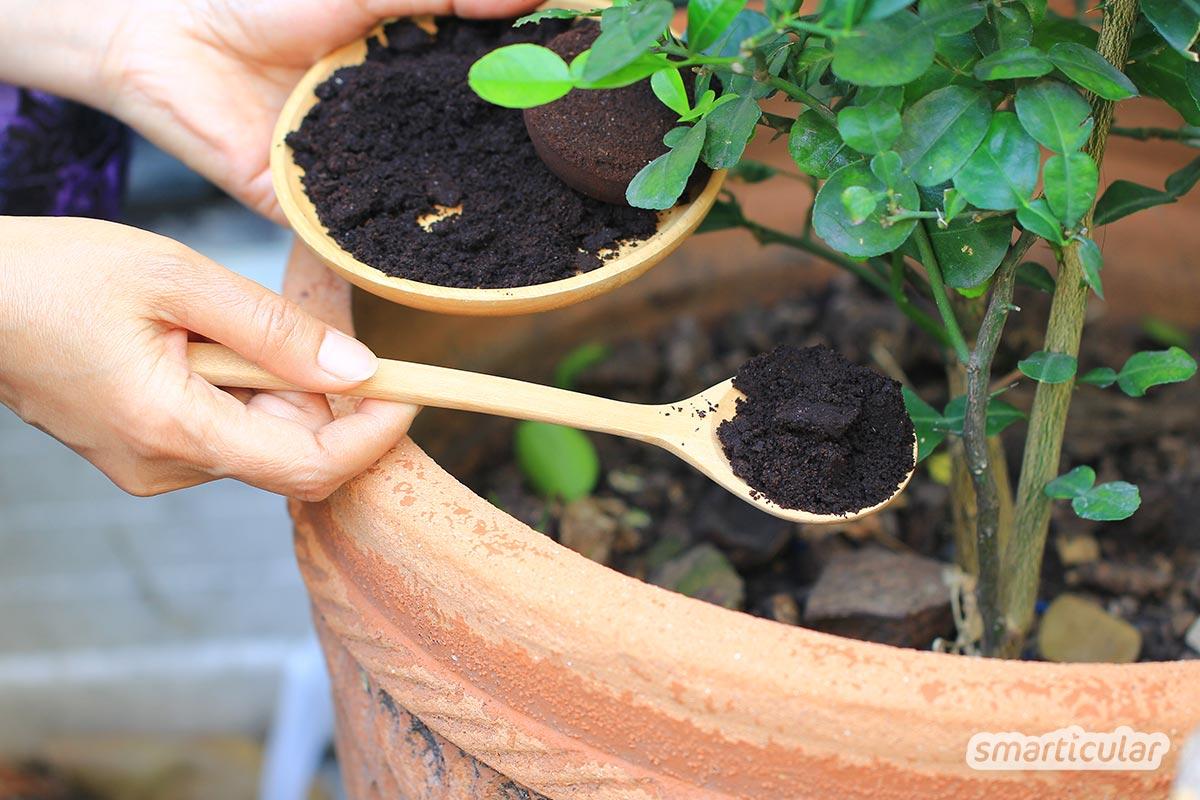Kaffeesatz im Garten ist vielfältig nutzbar. Hier findest du die besten Tipps als Dünger, zur Abwehr von Schädlingen und mehr.