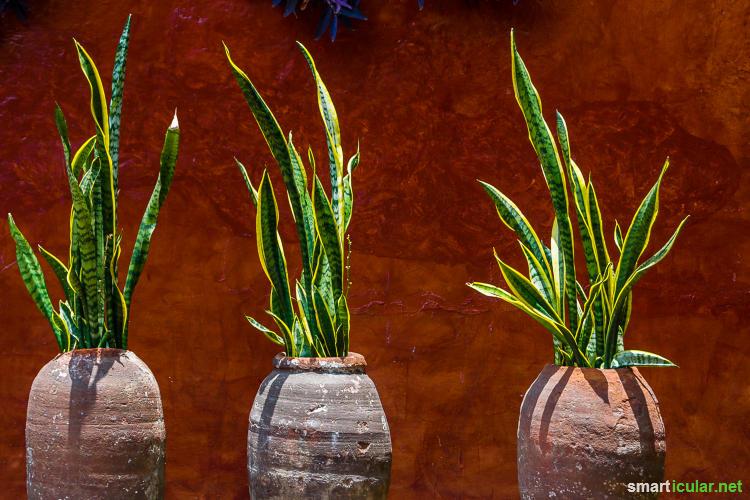 Pflegeleichte zimmerpflanzen f r menschen ohne gr nen daumen - Efeu zimmerpflanze giftig ...