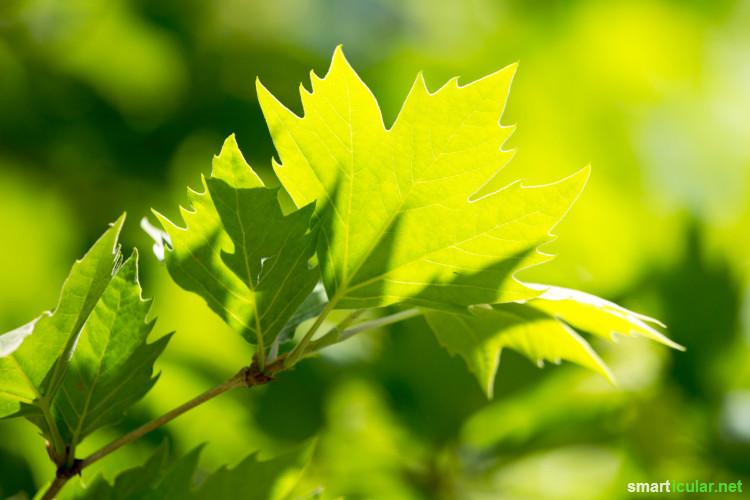 Nicht nur die Früchte vieler Bäume sind essbar - häufig sind auch die Blätter nicht nur genießbar, sondern auch richtig schmackhaft und gesund!