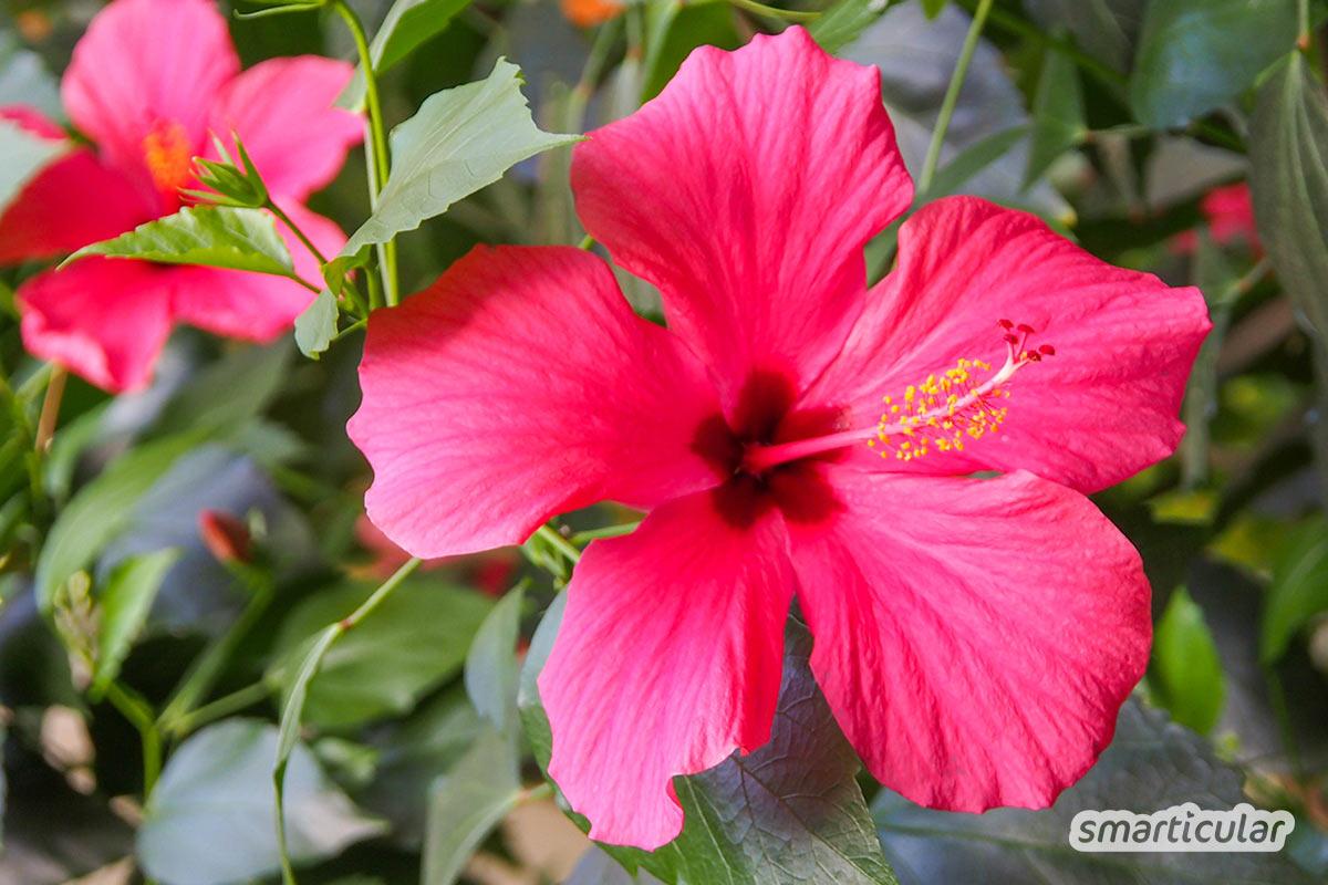 Essbare Blüten von Rosen, Hibiskus oder Holunder sehen im Garten nicht nur hübsch aus, sondern eignen sich für Koch- und Backrezepte oder für Getränke.